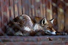 Fox dans le sommeil de cage Photo stock