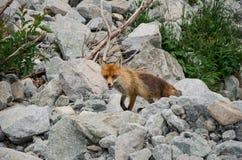 Fox dans le vulpes de Vulpes de campagne, haut Tatras, Slovaquie images libres de droits