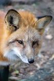 Fox dans les bois Photo stock