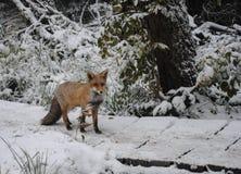 Fox dans un environnement naturel Photos stock