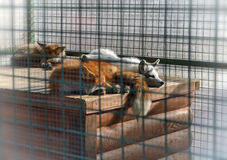 Fox dans un zoo photo stock