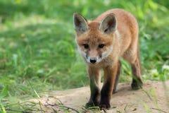 Fox dans une clairière Photographie stock libre de droits