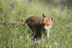 Fox de bébé Photo stock
