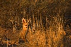 Fox de cap Photos stock