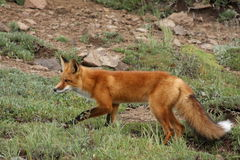 Fox de chasse Images stock