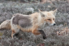 Fox de chasse Photographie stock libre de droits