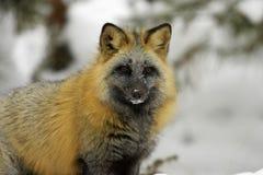 Fox de croix Images stock