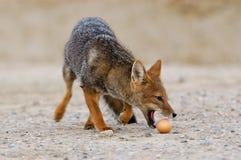 Fox de Culpaeus volant l'oeuf Images stock