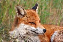 Fox de descanso Imagens de Stock Royalty Free