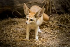 Fox de Fennec Photo stock