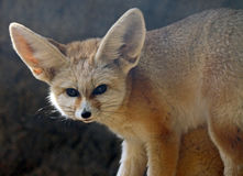 Fox de Fennec Imagem de Stock Royalty Free