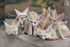 Fox de Fennec Images libres de droits