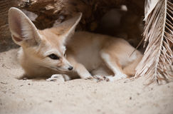 Fox de Fennec Photographie stock