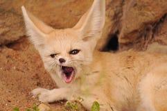 Fox de Fennec Photo libre de droits