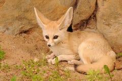 Fox de Fennec Imágenes de archivo libres de regalías