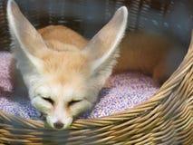 Fox de Fennec del bebé en la jaula de acero Fotografía de archivo