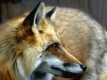 Fox de la caza Fotografía de archivo