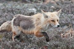 Fox de la caza Fotografía de archivo libre de regalías