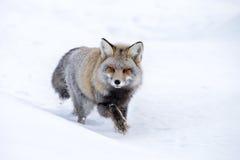 Fox de la cruz Foto de archivo libre de regalías