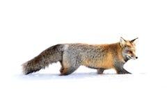 Fox de la cruz Imágenes de archivo libres de regalías