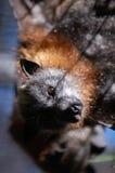 Fox de vuelo dirigido gris Foto de archivo