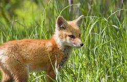 Fox del bambino Fotografie Stock Libere da Diritti