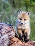Fox del bebé Foto de archivo libre de regalías