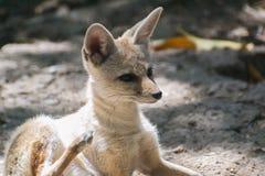 Fox del Bengala o dell'indiano fotografia stock libera da diritti