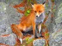 Fox della montagna immagine stock
