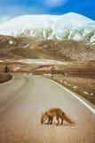Fox, der eine Straße in einem wilden Tal kreuzt Stockbilder