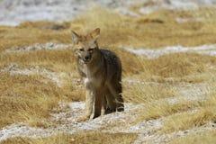 Fox, der entlang ich anstarrt Stockfoto