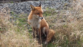 Fox, der nahe Schienenstrang sitzt Lizenzfreie Stockbilder