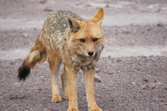 Fox in the desert Royalty Free Stock Images