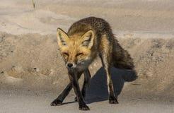 Fox di dancing Fotografia Stock Libera da Diritti