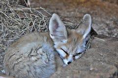 Fox di Fennec immagini stock libere da diritti