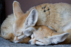 Fox di Fennec Immagine Stock