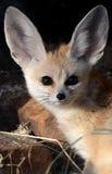 Fox di Fennec (zerda del Vulpes) Immagini Stock Libere da Diritti