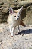 Fox di Fennec (zerda del Vulpes) Fotografia Stock