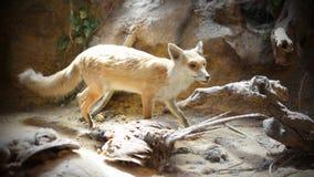 Fox Diorama Stock Images