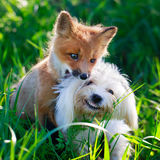 Fox and dog Royalty Free Stock Photos