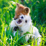 Fox and dog Royalty Free Stock Images