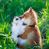 Fox and dog Royalty Free Stock Photography