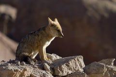 Fox dopatrywania zdobycz Obraz Stock