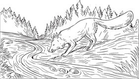 Fox Drinking River Woods Black and White Drawing Royalty Free Stock Image