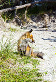 Fox in the dunes at the beach Royalty Free Stock Image