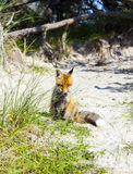 Fox in the dunes at the beach Royalty Free Stock Photography