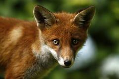 Fox dziki Lisiątko Zdjęcia Royalty Free