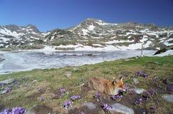 Fox e açafrão Fotografia de Stock Royalty Free
