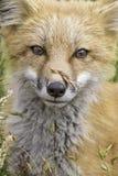 Fox e grão imagens de stock royalty free