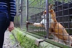 Fox e um homem Fotos de Stock Royalty Free